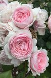 Pink roses in a Gloucester garden. Pale pink roses in a cluster Stock Images