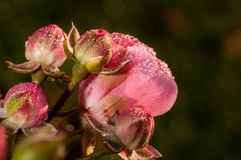 Pink roses on a green bush in garden with watter drops. In Slovenia stock photo