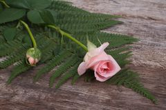 Pink roses and green ferns on old wooden Royalty Free Stock Image