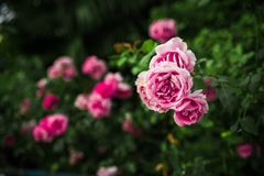 Pink roses in green garden Royalty Free Stock Photography
