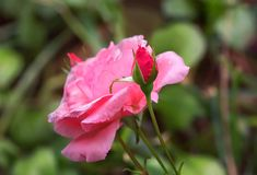 Pink roses on green grass background. royalty free stock images