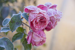 Pink roses with green leaves are covered with hoarfrost. Close-up shot of pink blossoming roses with green leaves in a frosty autumn morning with a rime frost on Royalty Free Stock Photo