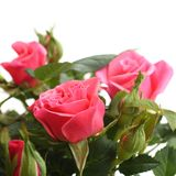 Pink roses with the green stems isolated on white background Royalty Free Stock Photos
