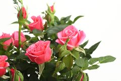 Pink roses with the green stems isolated on white background Stock Photo