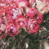 Pink roses in ground. Retro vintage hipster filter effect Royalty Free Stock Photo