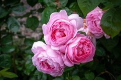 Pink roses growing on the bush. royalty free stock photo
