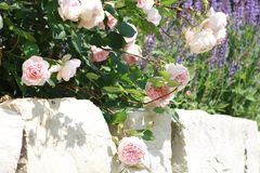 Pink roses on stone wall. Pink roses growing in a cottage garden on a stone wall Royalty Free Stock Photos