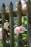 Pink roses on wooden fence. Pink roses growing in a cottage garden on a vintage wooden fence Royalty Free Stock Photos