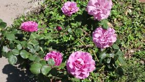 Pink roses growing in family garden video stock footage
