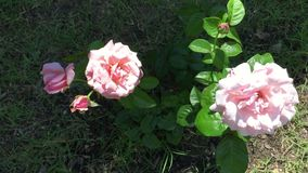 Pink roses . stock video footage