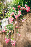 Pink roses on grunge wall Royalty Free Stock Image