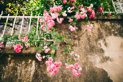 Pink roses on grunge wall Royalty Free Stock Photography