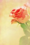 Pink roses grungy background Stock Photo