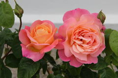Pink roses head  Stock Photography