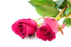 Pink roses isolate on white background Royalty Free Stock Photo