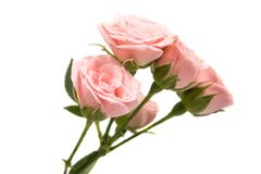 Pink Roses Isolated Royalty Free Stock Images