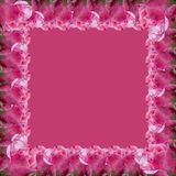 Pink roses isolated on pink background royalty free stock images