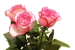 Pink roses isolated Stock Images