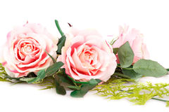 Pink roses. Isolated on white background Stock Photography