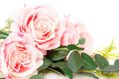 Pink roses. Isolated on white background Royalty Free Stock Images