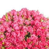Pink roses isolated on white background Stock Photos