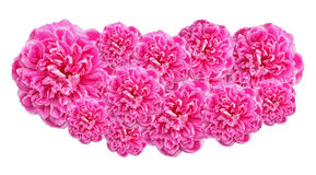 Pink Roses isolated on white background Stock Photo