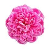 Pink Roses isolated on white background Stock Image