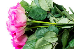 Pink roses isolated on white Stock Photos