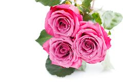 Pink roses isolated on white. Copy space. studio shot Royalty Free Stock Images