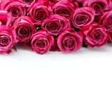 Pink roses isolated on white. Copy space. studio shot Royalty Free Stock Photos
