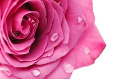Pink roses isolated on white. Copy space. studio shot Stock Images