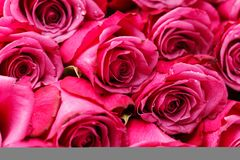 Pink roses isolated on white. Copy space. studio shot Stock Image