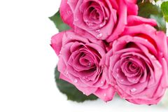 Pink roses isolated on white. Copy space. studio shot Stock Photo