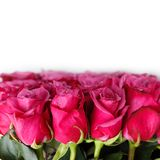 Pink roses isolated on white. Copy space. studio shot Royalty Free Stock Photography