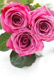 Pink roses isolated on white. Copy space. studio shot Royalty Free Stock Photo