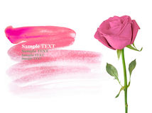 Pink roses isolated on white with sample text. Royalty Free Stock Photo