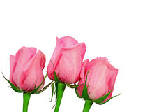 Pink roses isolated on white. Three pink roses isolated on a white background Stock Photo