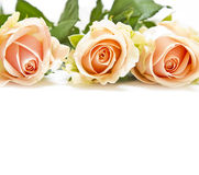 Pink roses isolated on white Royalty Free Stock Image