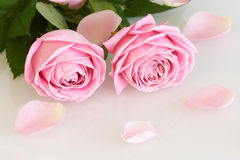 Pink roses and leaves. Series Stock Images