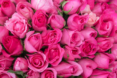 Pink roses for love background Royalty Free Stock Image