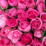 Pink roses for love background Stock Image