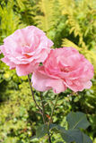 Pink roses in lush summer garden Stock Photos