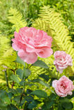 Pink roses in lush summer garden Royalty Free Stock Photography