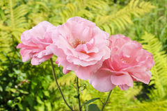 Pink roses in lush summer garden Royalty Free Stock Images