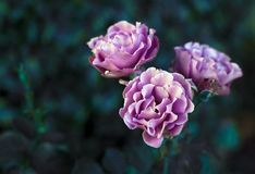 Pink roses on natural background. Summer Royalty Free Stock Images