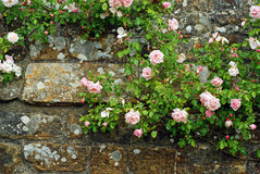 Pink roses on an old stone wall Royalty Free Stock Photography