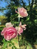 Pink roses in the park. In autumn stock photo