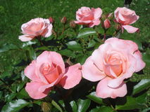 Pink roses in park Stock Photography