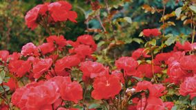 Pink roses in the Park, flower garden, tender roses growing in the garden stock video