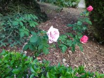 Pink roses in the park. Beautiful and fragrant flowers. Spring landscape royalty free stock photography